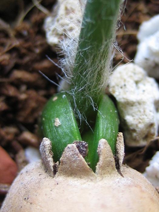 Encephalartos delucanus
