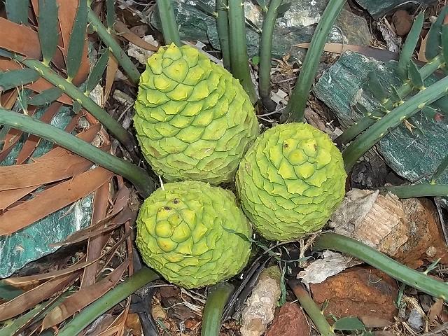 Encephalartos nubimontanus weiblich