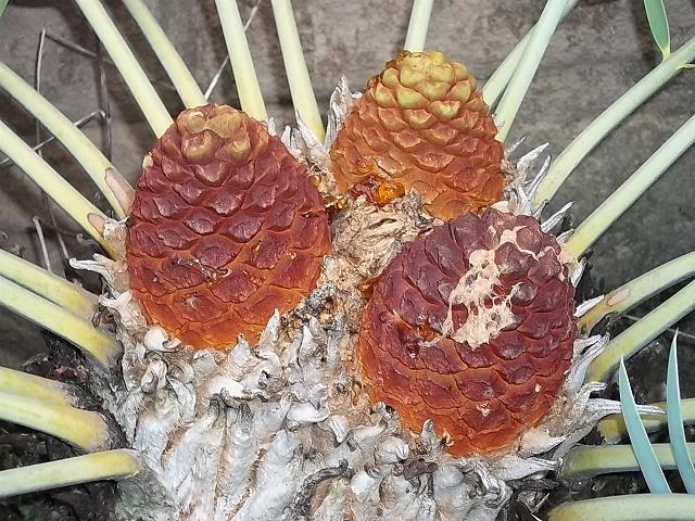 Encephalartos eugene-mauraisii weiblich