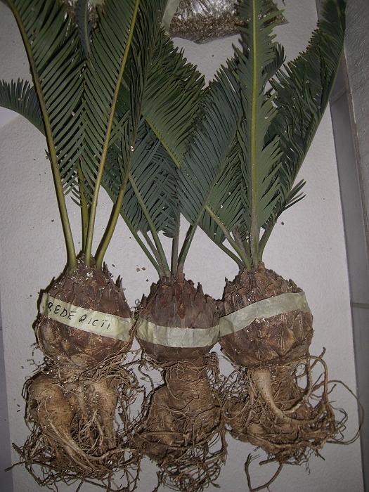 Encephalartos friderici