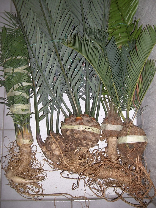 verschiedene Encephalartos