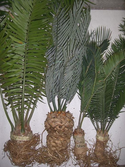 diverse Encephalartos