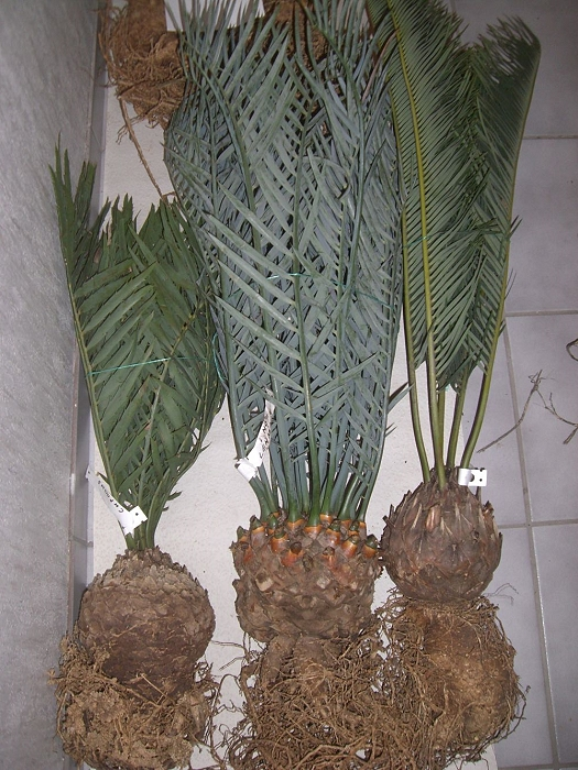 Encephalartos cupidus, Encephalartos lehmannii und Encephalartos friderici