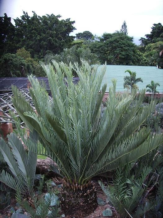 Encephalartos middelburgensis avontuur