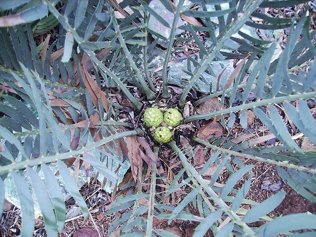 Encephalartos nubimontanus mit männlichem Cone