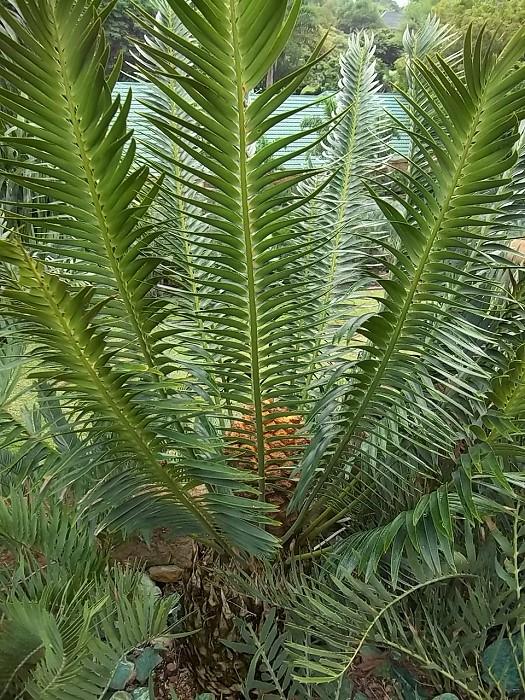 Encephalartos heenanii mit Cone