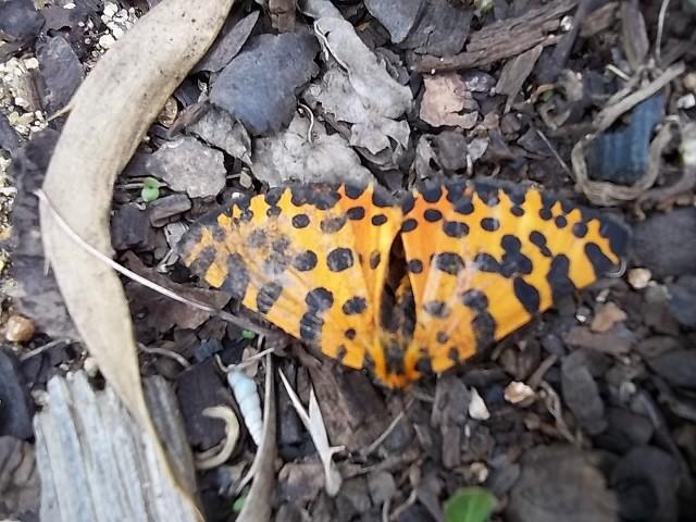 zerenopsis_leopardina