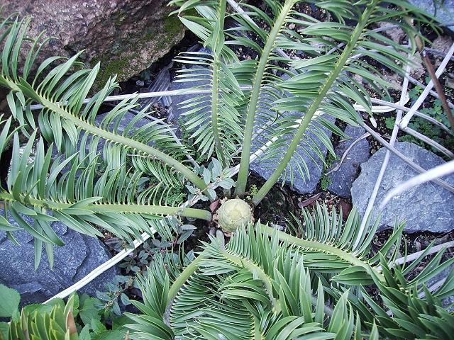 Encephalartos caffer mit cone