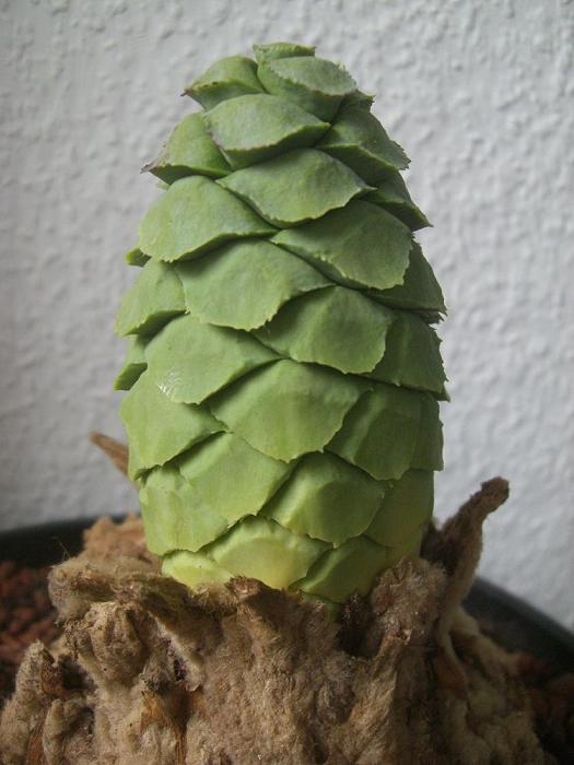 Encephalartos ngoyanus Cone Bad Nauheim