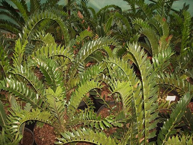 Encephalartos latifrons