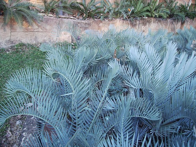 Encephalartos lehmanii