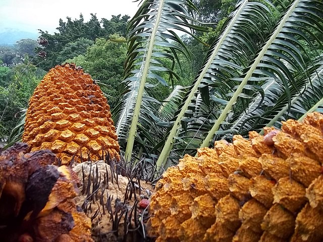 Encephalartos paucidentatus mit 3 cones