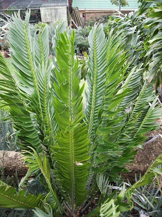 Encephalartos relictus