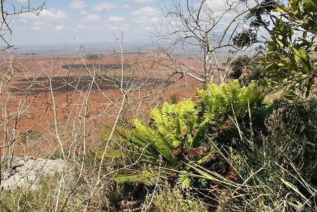 Encephalartos kisambo
