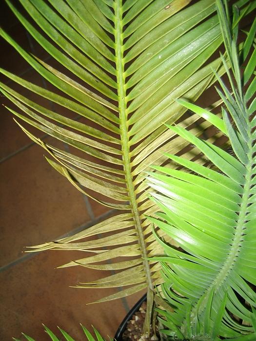 Blattschäden an Encephalartos cerinus