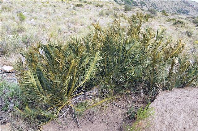 Encephalartos cycadifolius