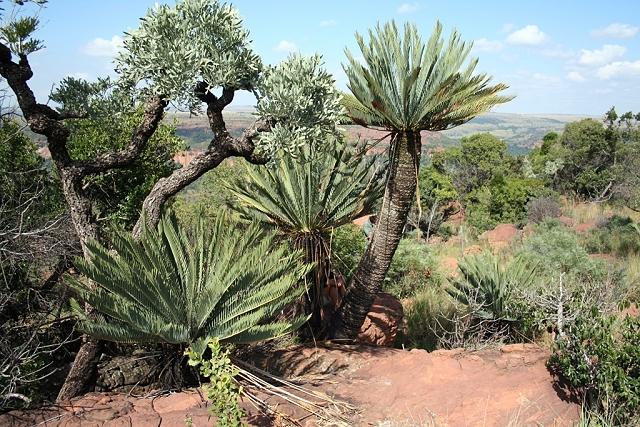 Encephalartos middelburgensis am Naturstandort