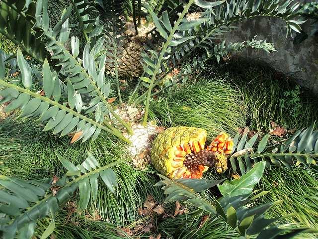 Encephalartos arenarius weiblicher Cone