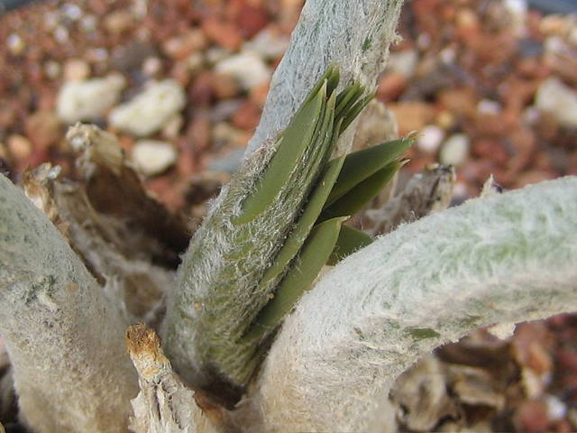 Encephalartos dolomiticus