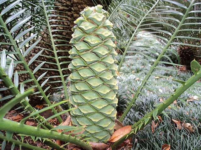 Encephalartos lebomboensis männlicher Cone