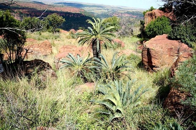 Encephalartos lanatus am Naturstandort