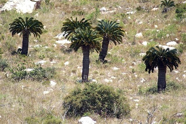 Encephalartos longifolius am Naturstandort