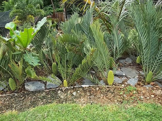 Encephalartos nubimontanus männlicher cone