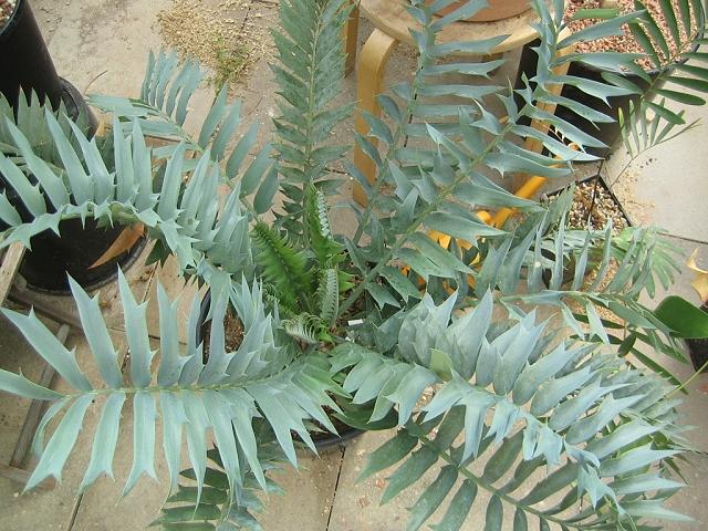 Encephalartos arenarius blue