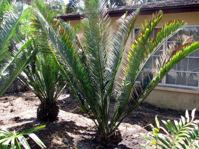 Encephalartos bubalinus