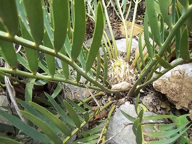 Encephalartos cupidus weiblicher Cone