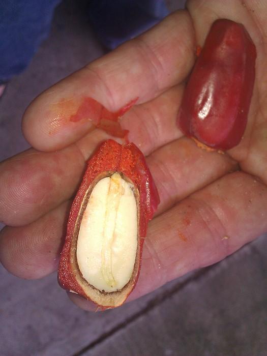 Samen vom Encephalartos ituriensis