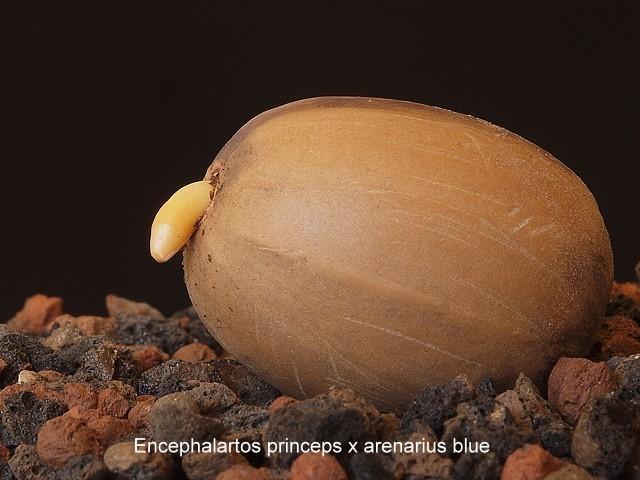 Encephalartos princeps x arenarius blue