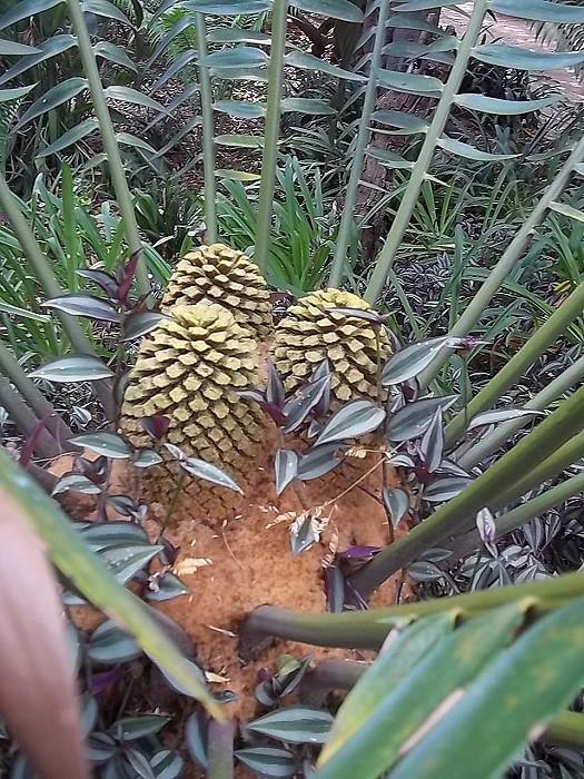 Encephalartos heenanii maennlicher Cone
