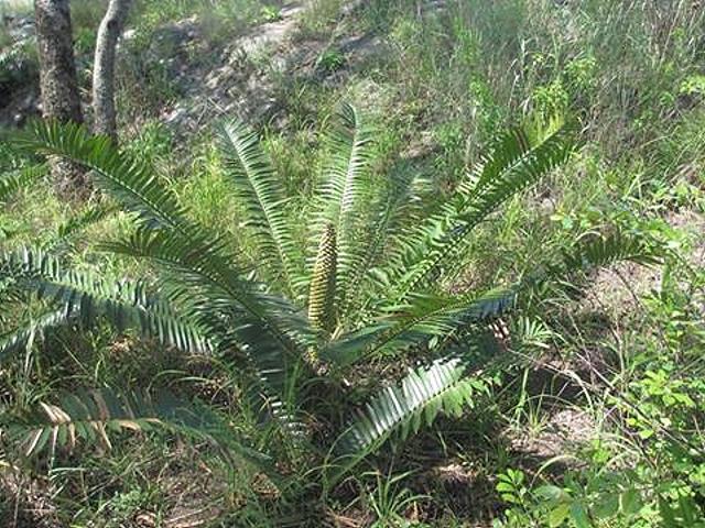 Encephalartos chimanimaniensis
