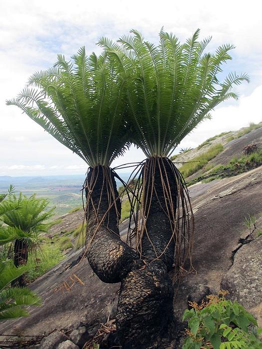 Encephalartos manikensis