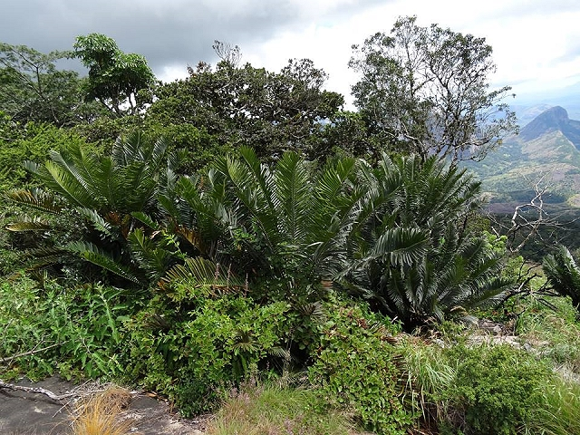 Encephalartos turneri