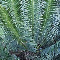 Encephalartos heenani