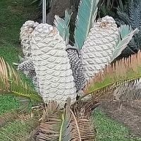 Encephalartos laevifolius